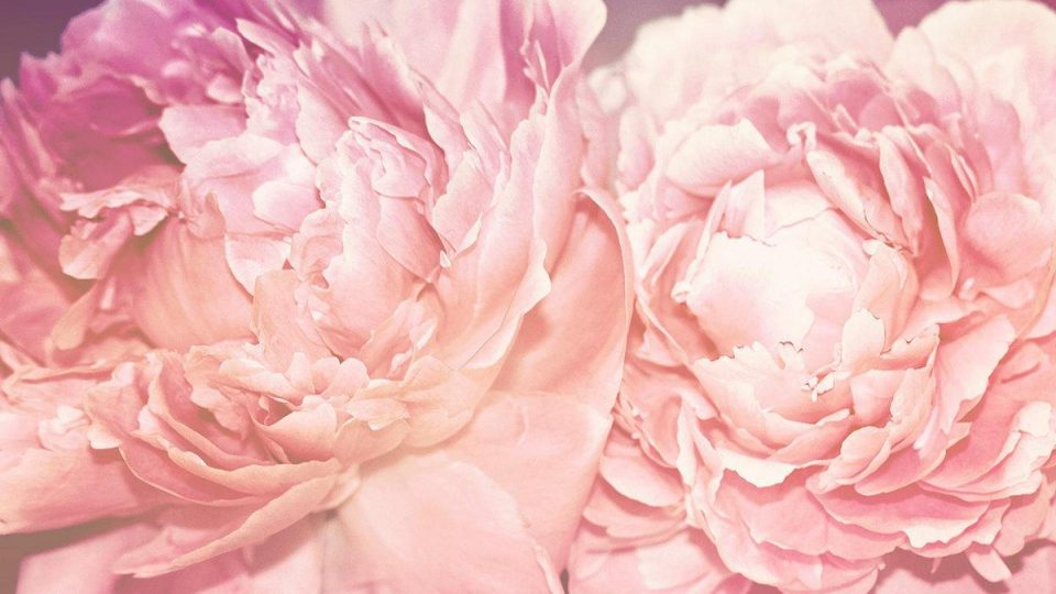 27003919-peonies-wallpapers