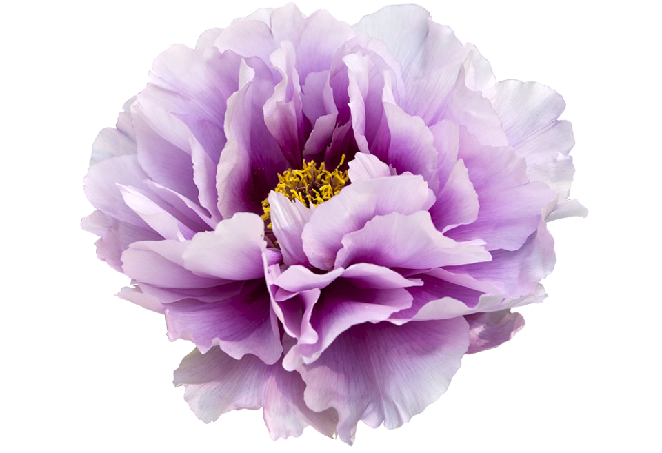 violet_peony-clipart
